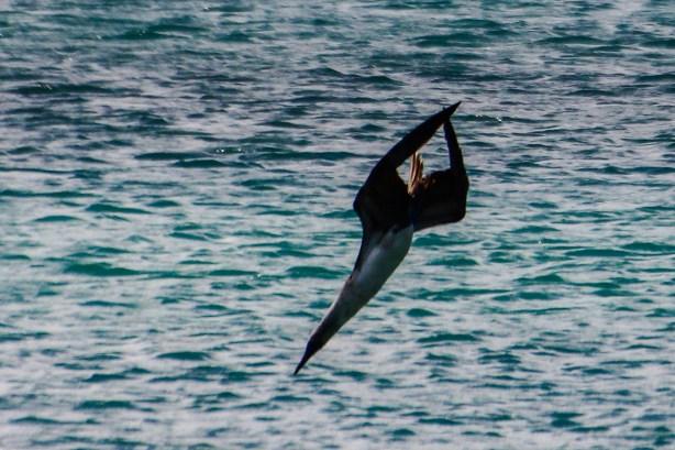 Blaufußtölpel im Sturzflug