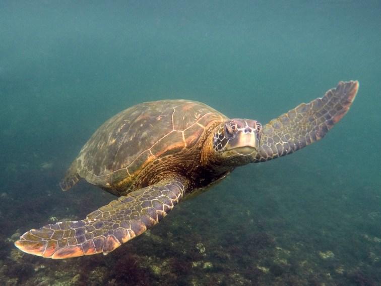 Hautnahe Begegnung mit Schildkröten auf einem Schnorcheltrip zu Los Tuneles