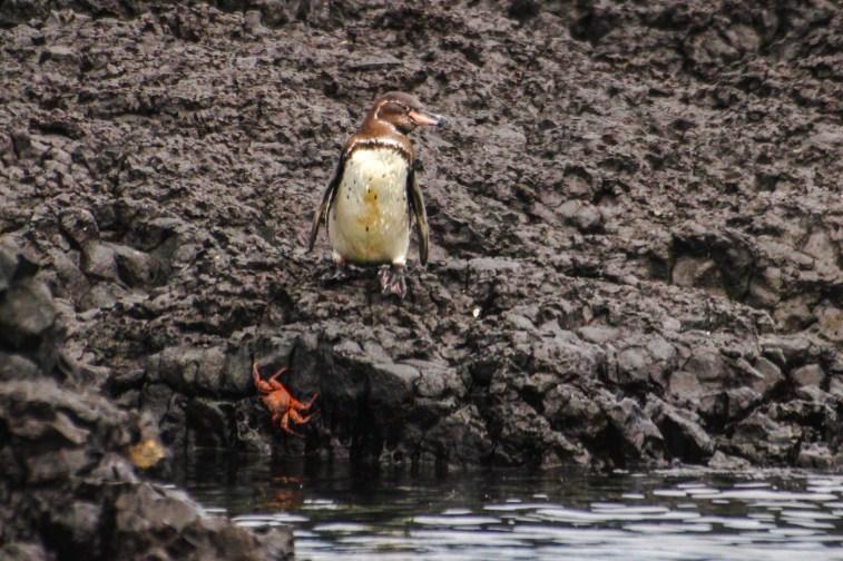 Galapagos Pinguin, die einzige Pinguinart auf der Nordhalbkugel