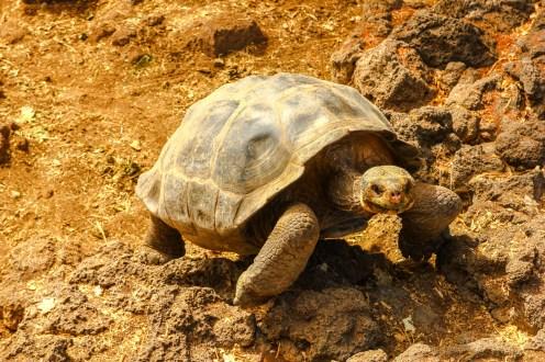 Landschildkröte in der Charles Darwin Research Station