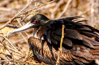 Fregattvogelweibchen