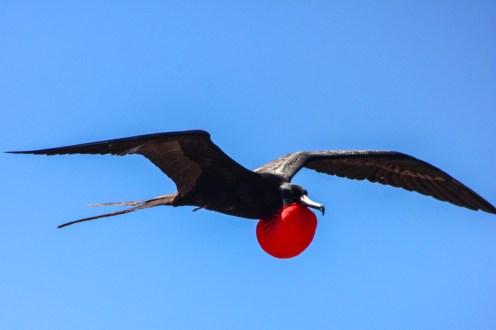 Fregattvogel im Flug