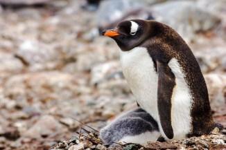 Dieser kleine Pinguin ist etwas spät dran - seine Überlebenschancen so kurz vor dem Winter stehen schlecht...