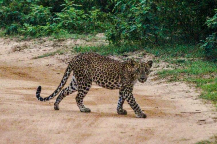 Der erste Leopard in der Morgendämmerung