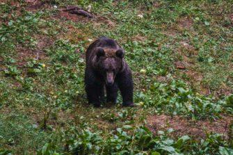Bärenbeobachtung in Slowenien