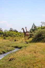 Giraffen im Arusha Nationalpark
