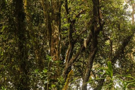 Schwarz-weiße Stummelaffen in den Bäumen