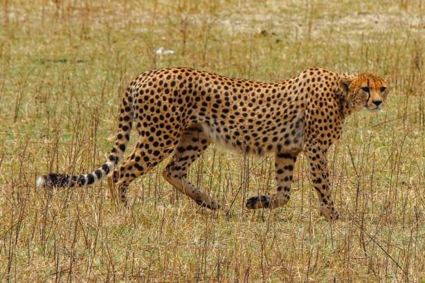 Gepard im Ngorongoro Krater