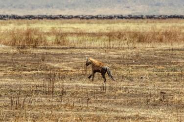 Hyäne mit Gnuherde im Hintergrund