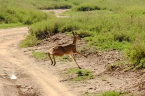 Eine Thomson Gazelle springt über die Straße