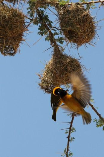 Webervögel an ihren Nestern