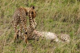 Kuschlige Geparden