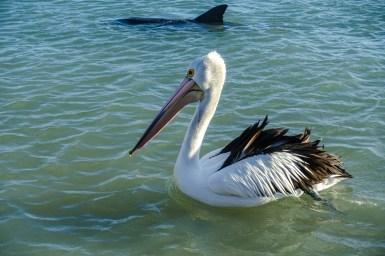 Auch ein Pelikan hofft auf seinen Anteil
