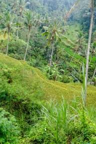 Reisterrassen von Gunung Kawi