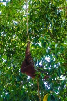 Ein Orang Utan besucht uns