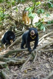 Die Makaken stibizen gerne das Essen, das für die Bären bestimmt ist