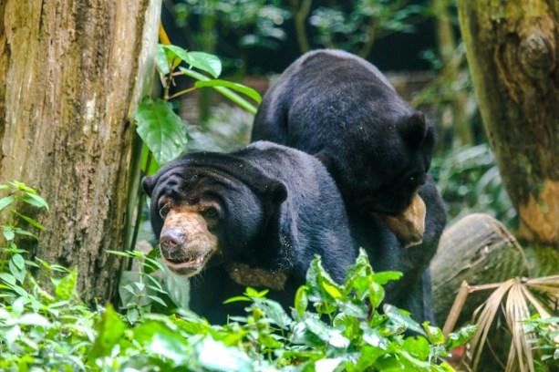 Malaienbären
