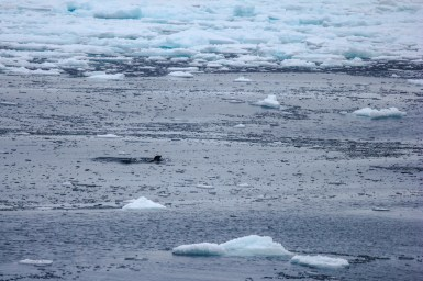 Robbe zwischen Eisschollen