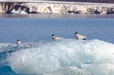 Küstenseeschwalben am Brepollen