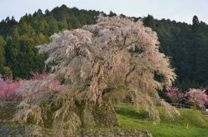 Matabe-Cherry tree after 後藤又兵衛(Goto Matabe). He was a samurai warrior around  17 century