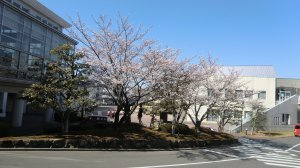 Sakura - cherry blossom - blooming on a Kansai campus, April 6th, 2011