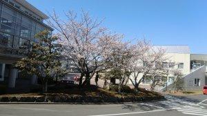 Sakura - cherry blossom - blooming on a Kansai campus, April 6th, 2011