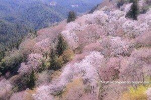 sakura_sapphire_sky