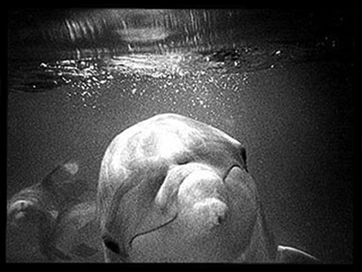 Dolphins, b/w film, Ink on RC paper for preparation of duraclear