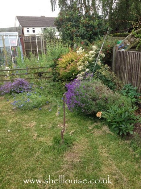 Lavender bush falling over