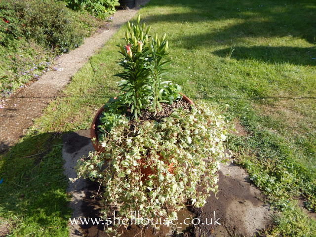 Planter with lilies, dahlias and ivy
