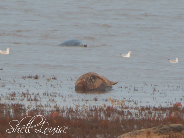Donna Nook Nature Reserve - Seal in the sea
