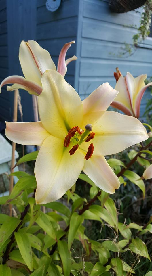light yellow lily