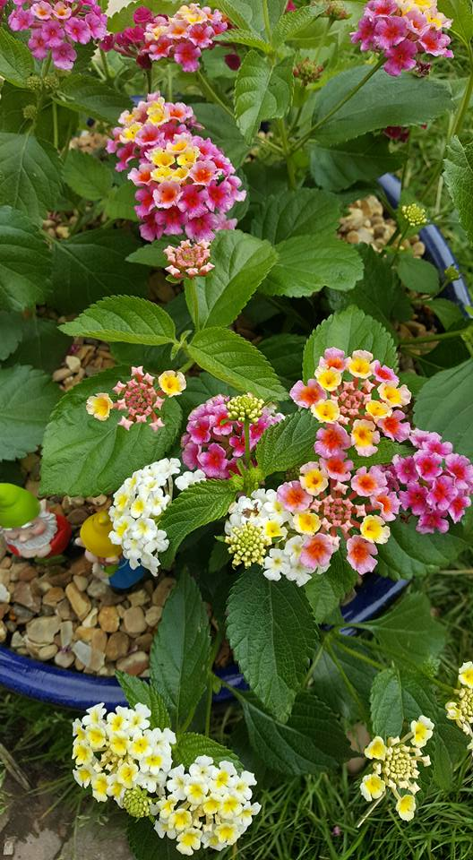 Lantana plants