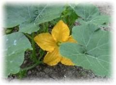 squash flower - forcing squash