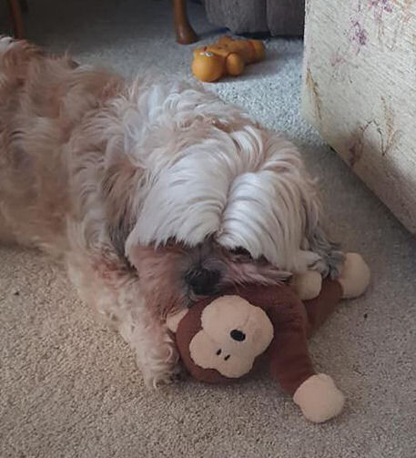 October 1 day 12 pics number 9 - Chi Chi the dog with her toy monkey