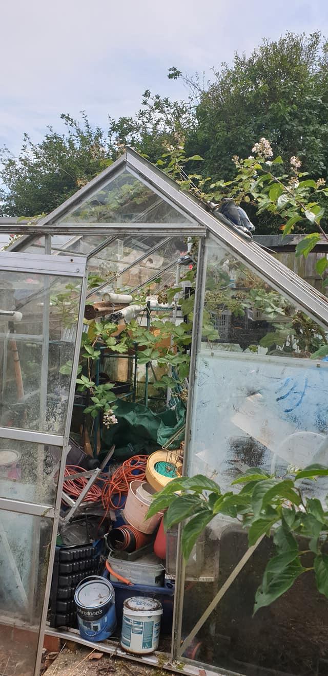 Blackberries growing through the greenhouse roof