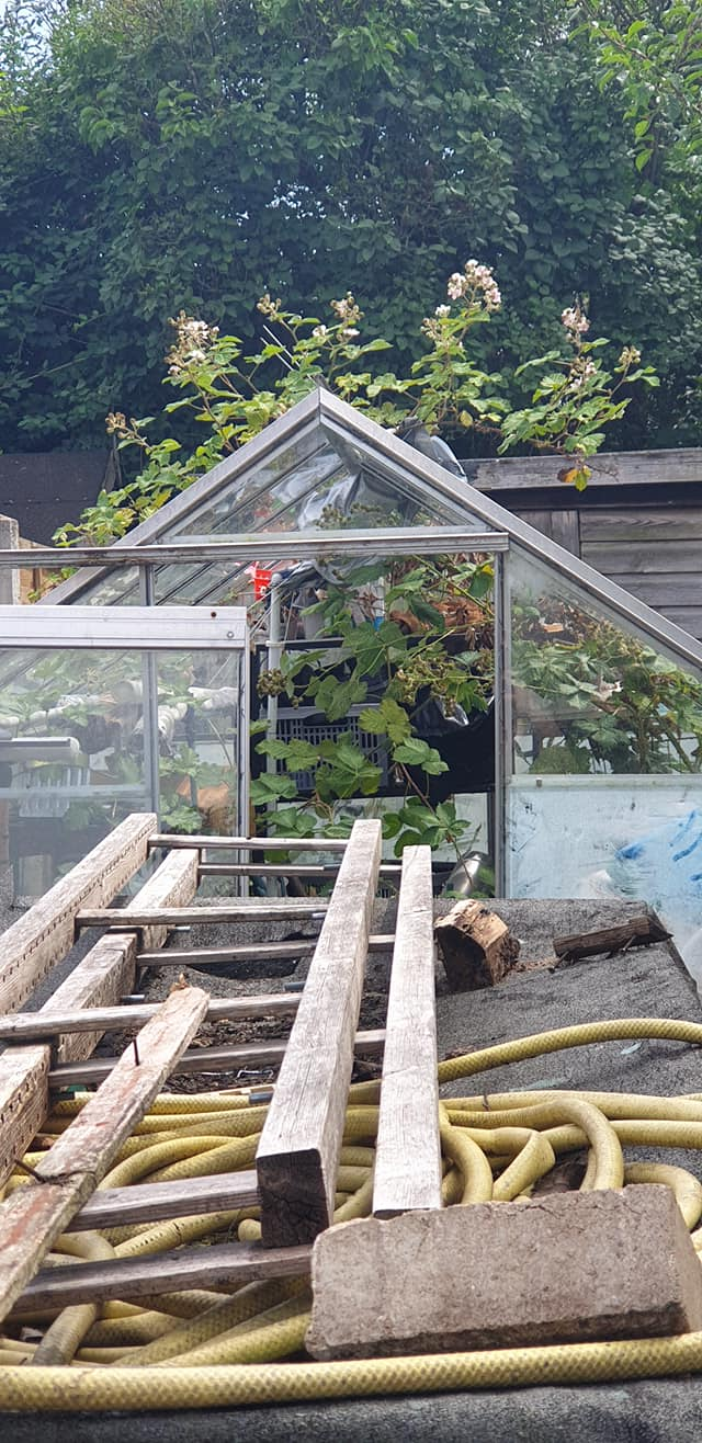 blackberry bush growing in the greenhouse and up through the roof