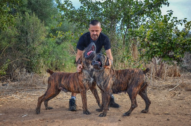 man with 2 boerboel dogs