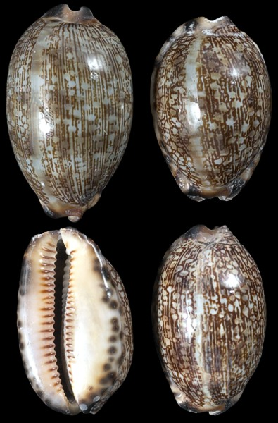 Cowry Shell Different Sizes Patterns And Color From
