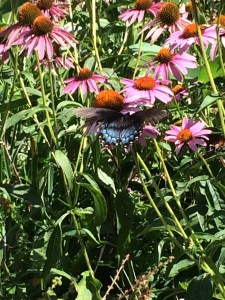 Black Tiger Swallowtail on Echinacea
