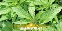 منوبة: الاحتفاظ بشخص زرع الماريخوانا في منزله لـ