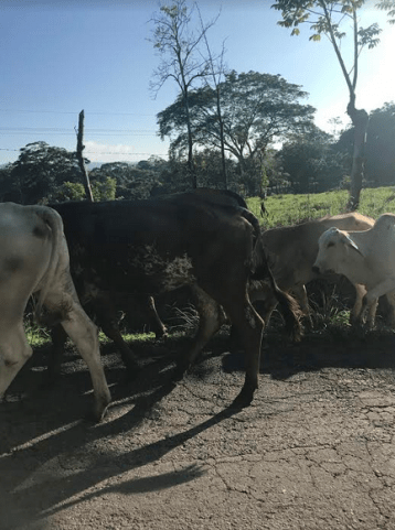cows crossing costa rica