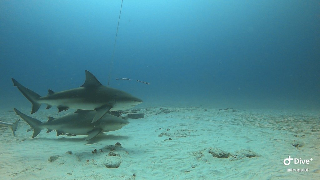 bull shark dive in playa del carmen mexico