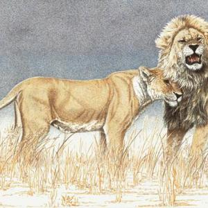 Sherry Steele Artwork - Conquest of a King | Lions