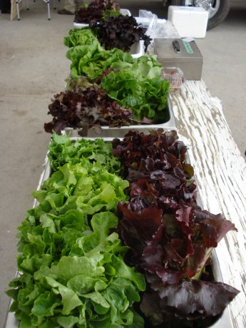 A colourful array of lettuces.