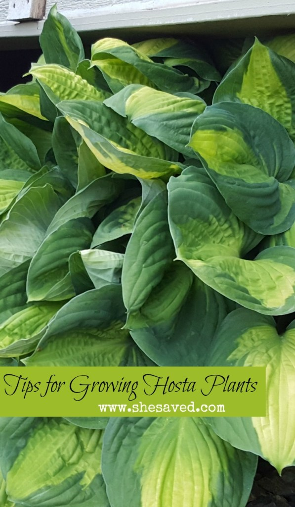 They are great space fillers and so easy to care for! Use my 7 Tips for Growing Hosta Plants to grow your own!