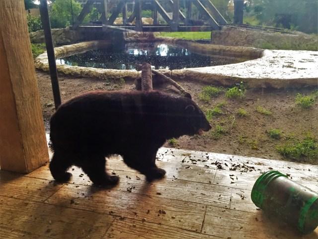 < Black bear >