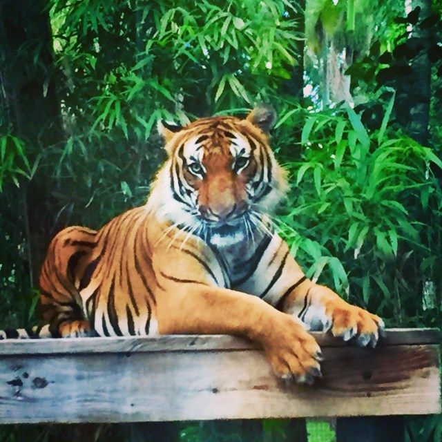 < One of the tiger brothers at the Naples Zoo >