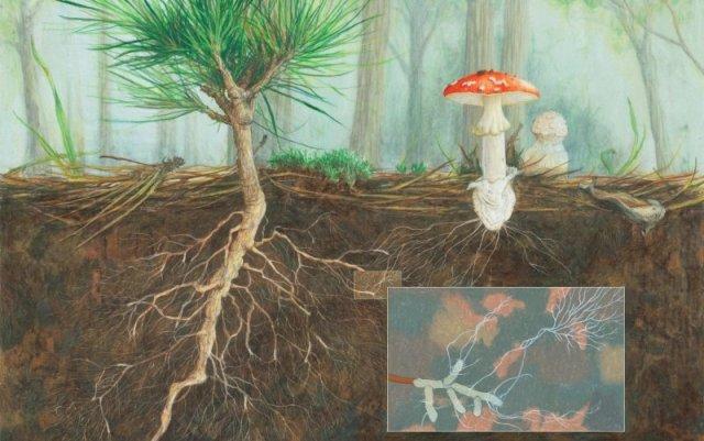 mycorrhizal_pine_final