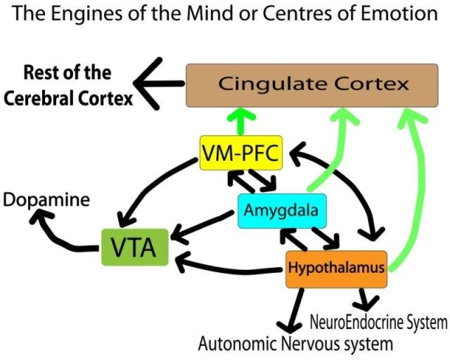 Dopamine-Cortex-VM-Amygdala-Hypothalamus